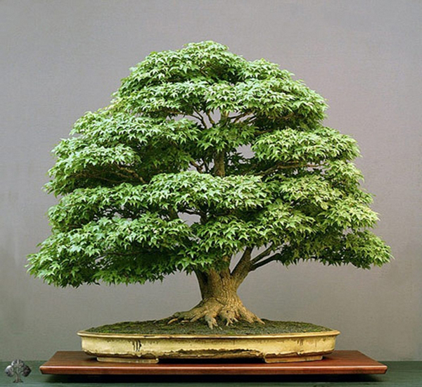 Cây cảnh nên sử dụng Uniconazole để la cây có vẻ